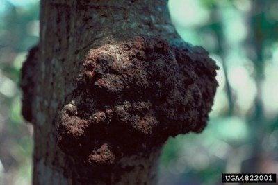 eucalyptus disease
