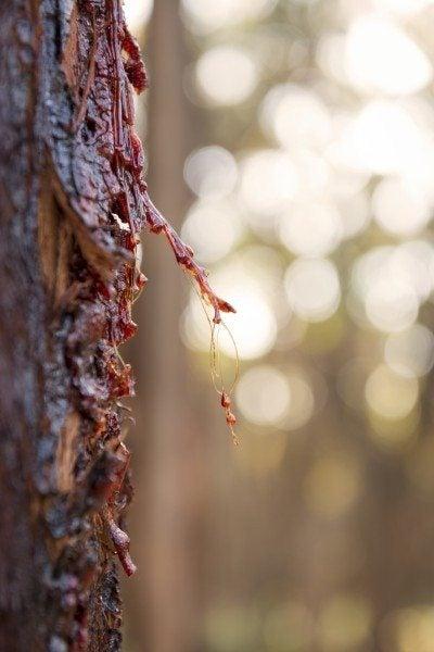 Red sap from a Stringybark eucalyptus tree in Australia