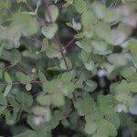"""Silbertropfen"" Mostgummi-Eukalyptus"