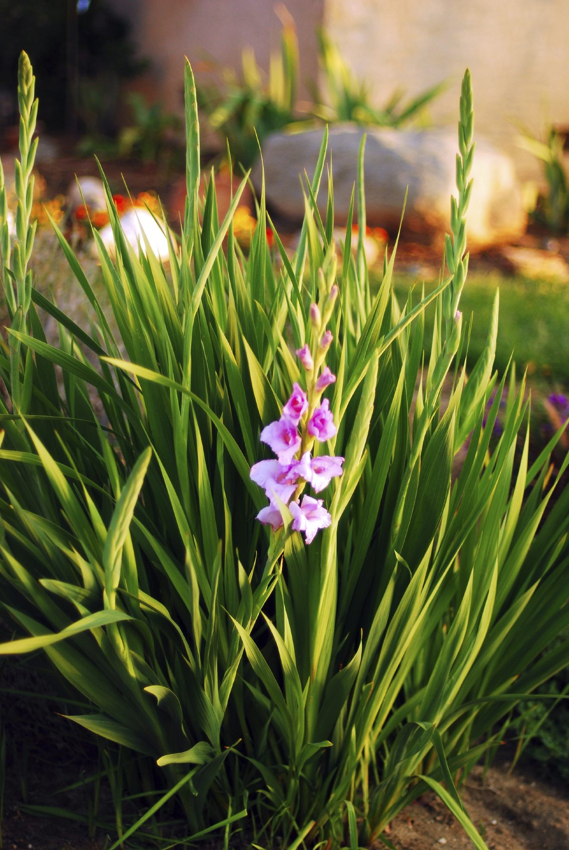 Pruning Back Gladiolus When And How To Trim Gladiolus Leaves