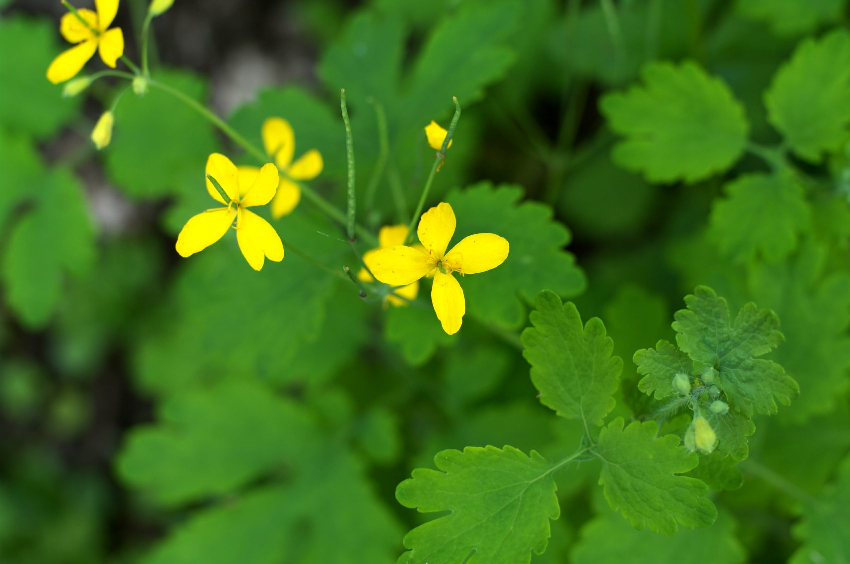 Celandine Plant Information - Where Does Greater Celandine Grow