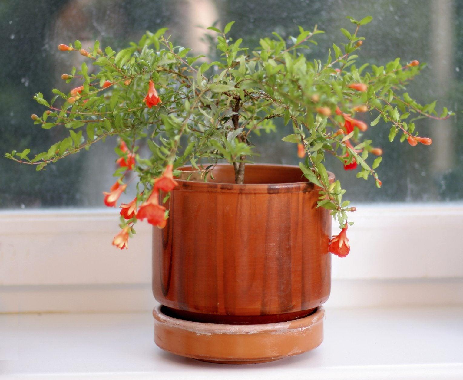 Pomegranate Houseplants – How To Grow Pomegranates Inside