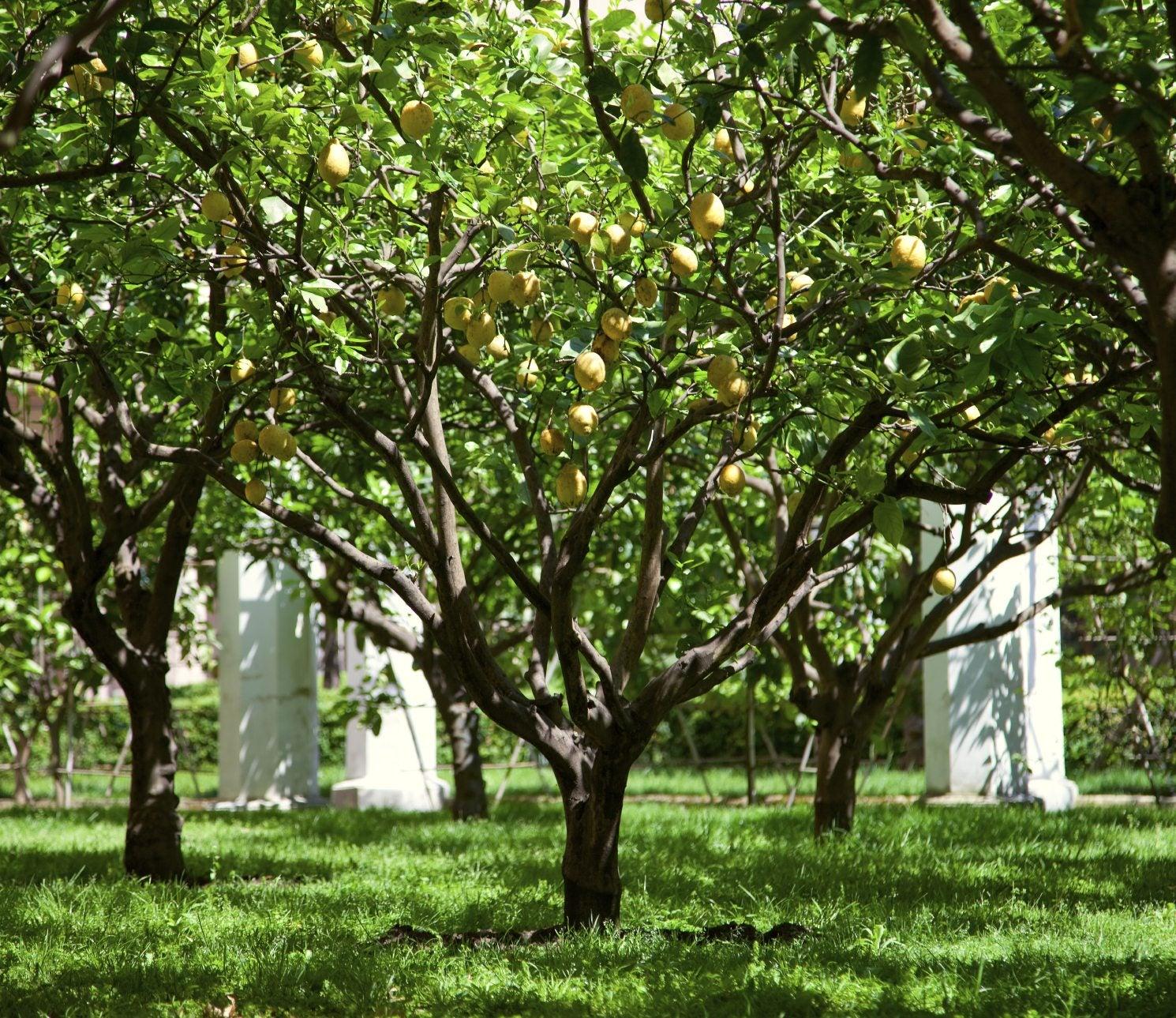 Lemon tree lifespan what is the average lifespan of for Lemon plant images