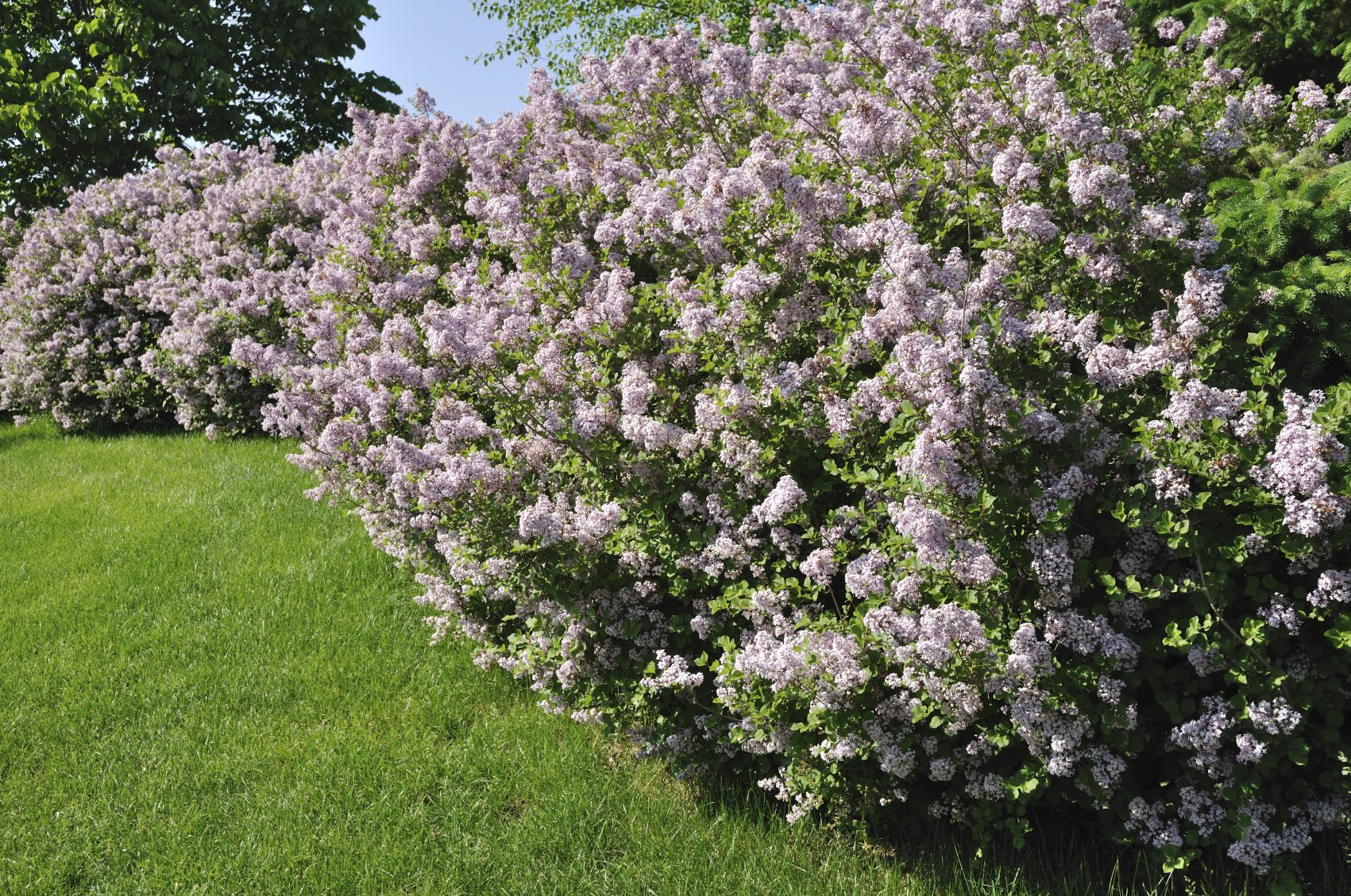 Lilac Tree Vs Bush Difference Between Trees And