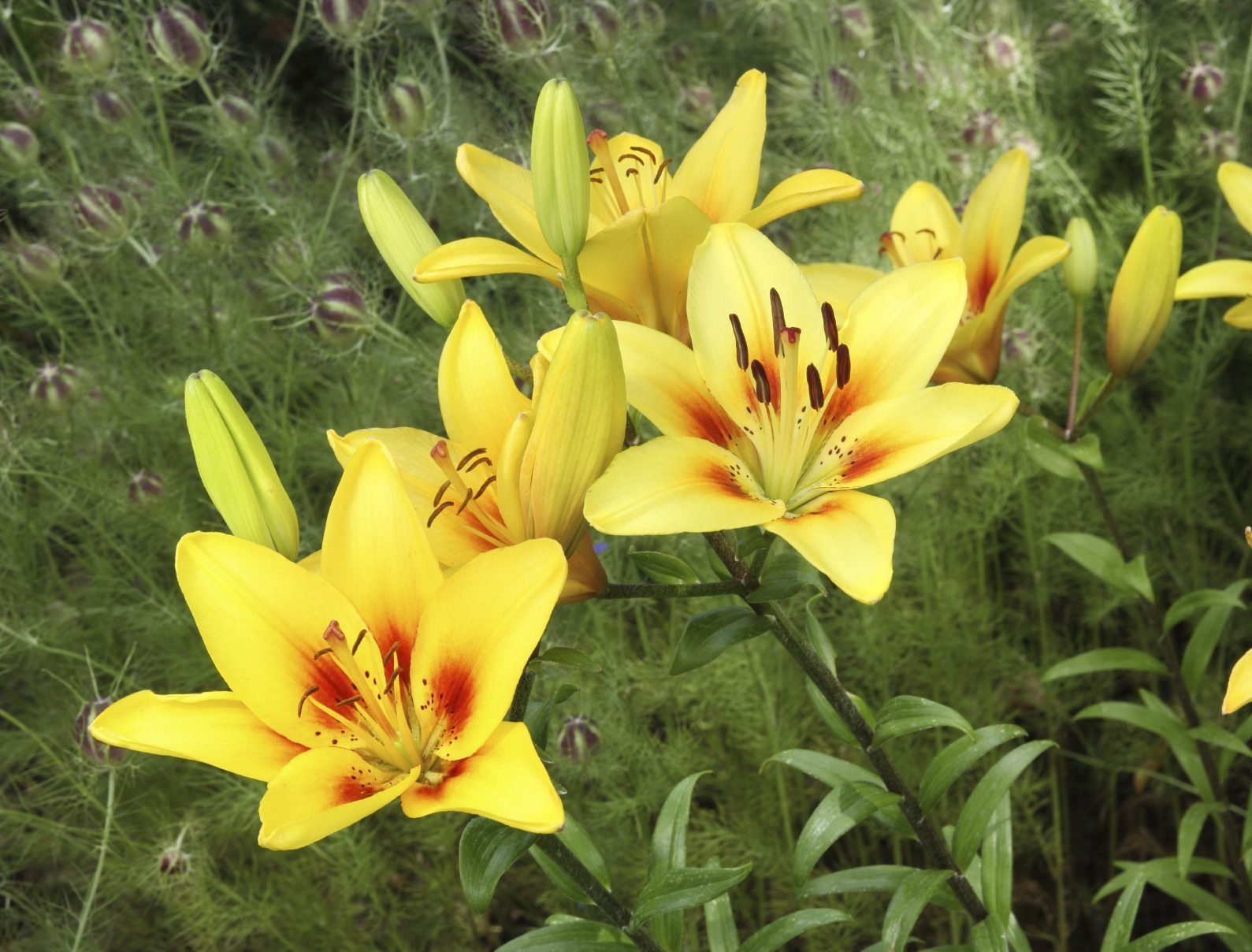 Dividing Lily Plants: Learn When And How To Transplant Lilies