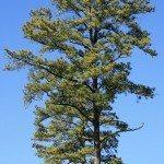 loblolly_pine