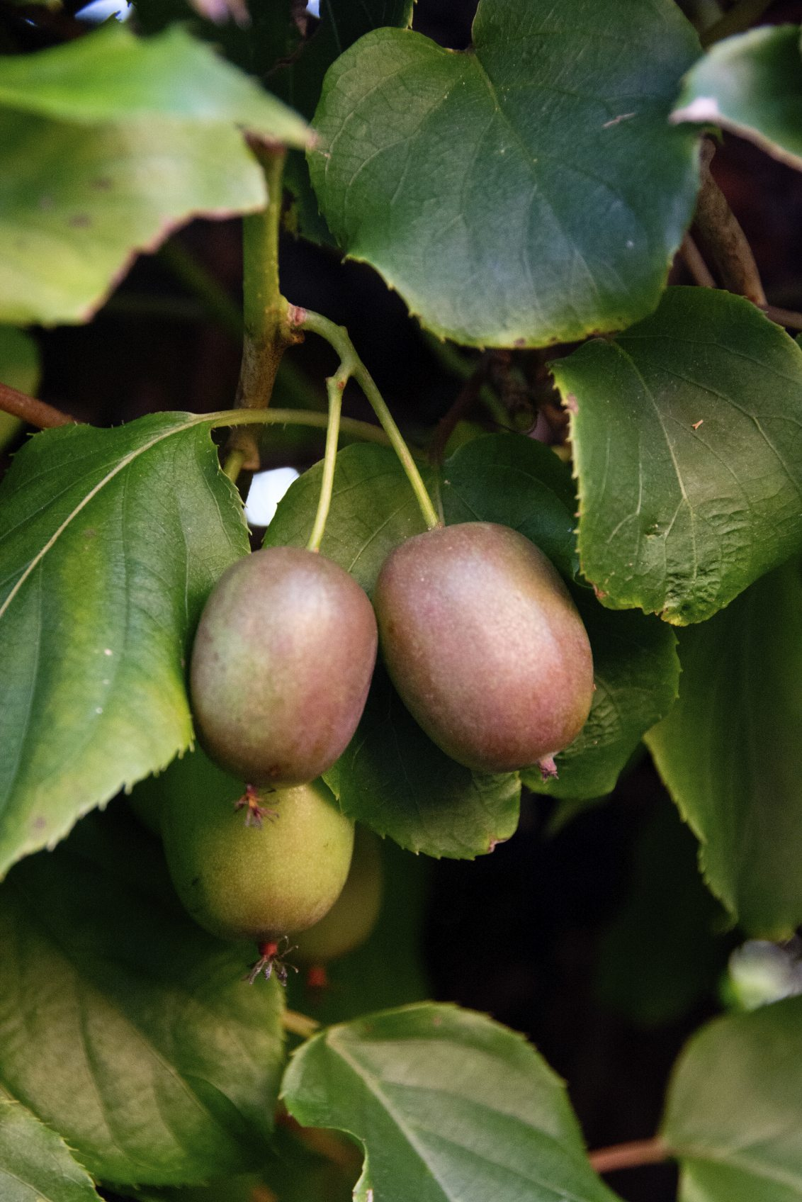 Nice Male And Female Fruit Trees Part - 3: Are Female Kiwi Toxic To Males - Tips On Where To Plant Male-Female Kiwis