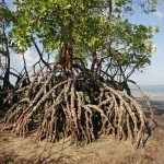 Mangrove tree at low tide, Vilanculos coastal sanctuary, Mozambique