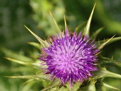 Silybum Milk Thistle Info: Tips For Planting Milk Thistle In Gardens