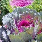 Decorative purple cabbage or kale, Brassica oleracea. Selective focus