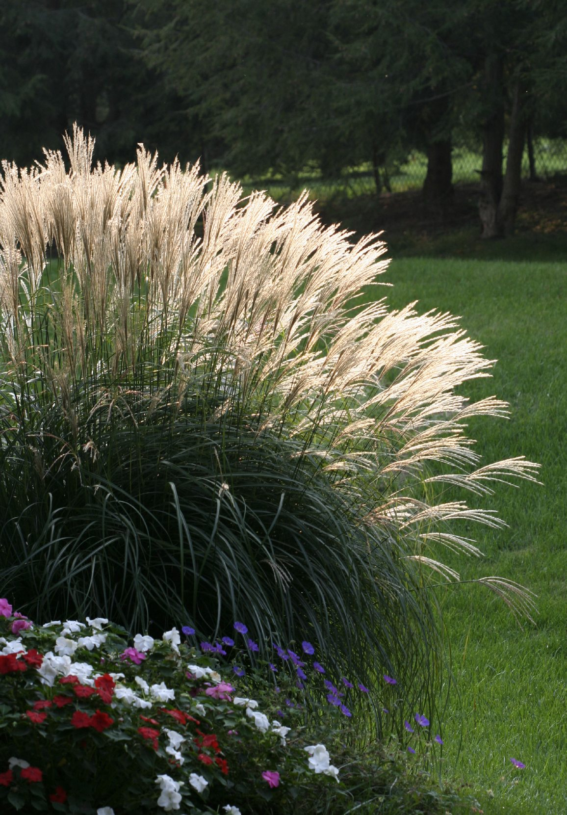 Pampas grass pruning learn how and when to cut back for Grass bushes landscaping