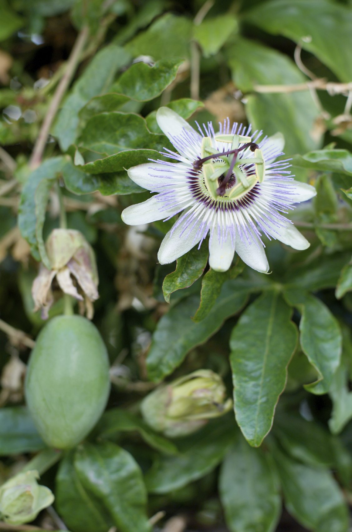 Passion Flower Fruit Rot – Reasons For Rotten Passion Fruit Plants