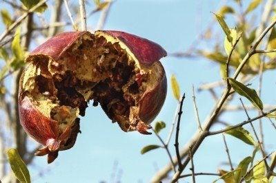 Old single pomegranate on the tree