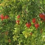 pomegranate on tree in a farm garden. fresh fruits