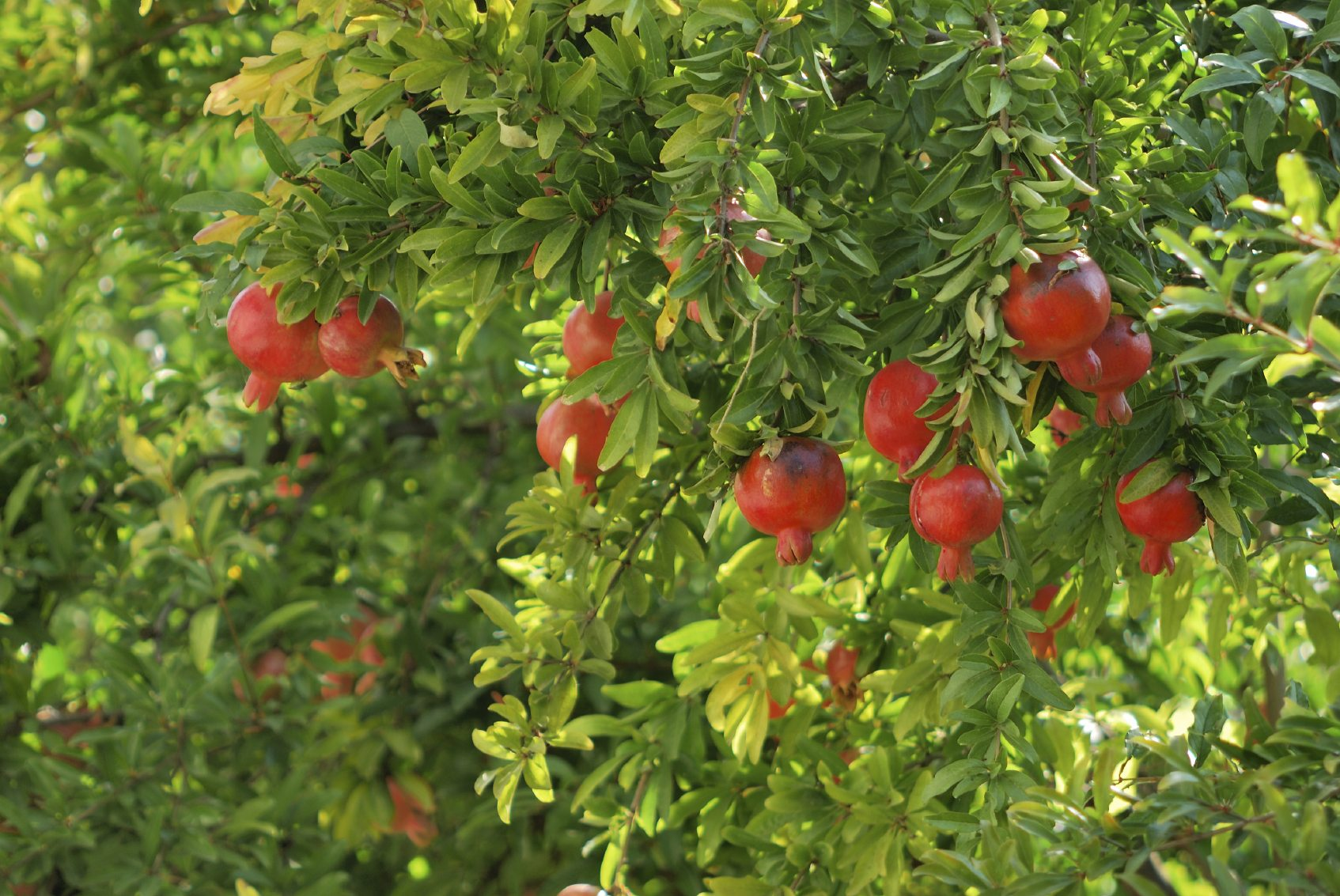 Pomegranate Fertilizing Needs When And What To Feed Pomegranate Trees