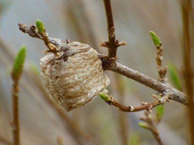 What Do Praying Mantis Egg Sacs Look Like And When Do Mantis Egg