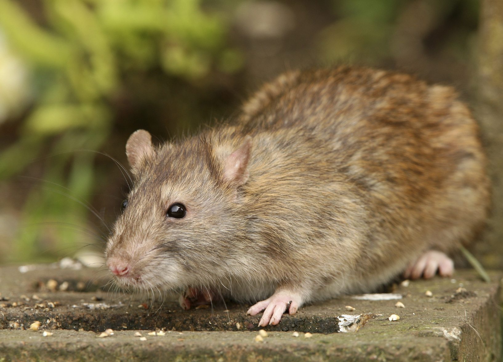 Rats In A City Garden Information About Urban Gardening