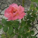beautiful rose growing on dry cracked soil
