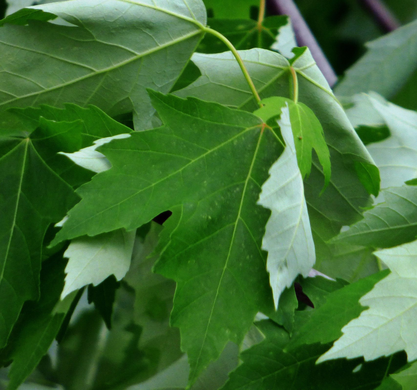 Maple Tree Varieties Information About Identification