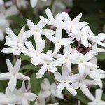 Lovely Star Jasmine blooming in spring