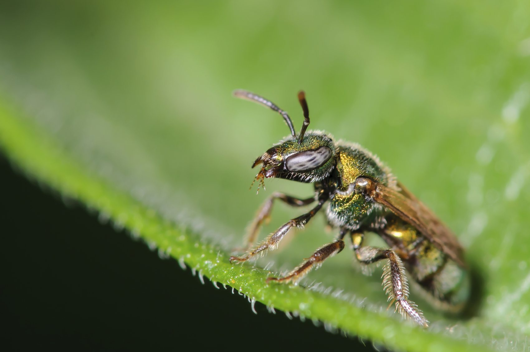 sweat bee behavior do sweat bees bite or sting