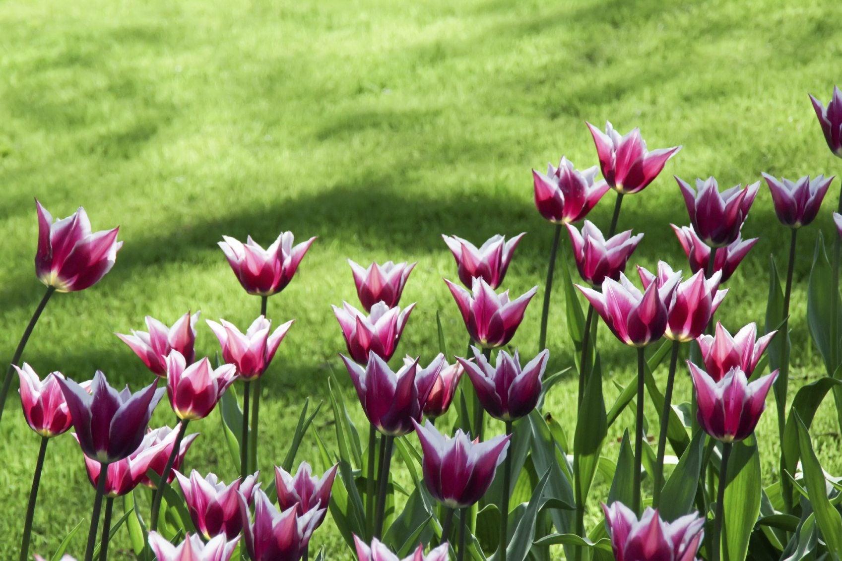 Preventing Deer From Eating Tulips