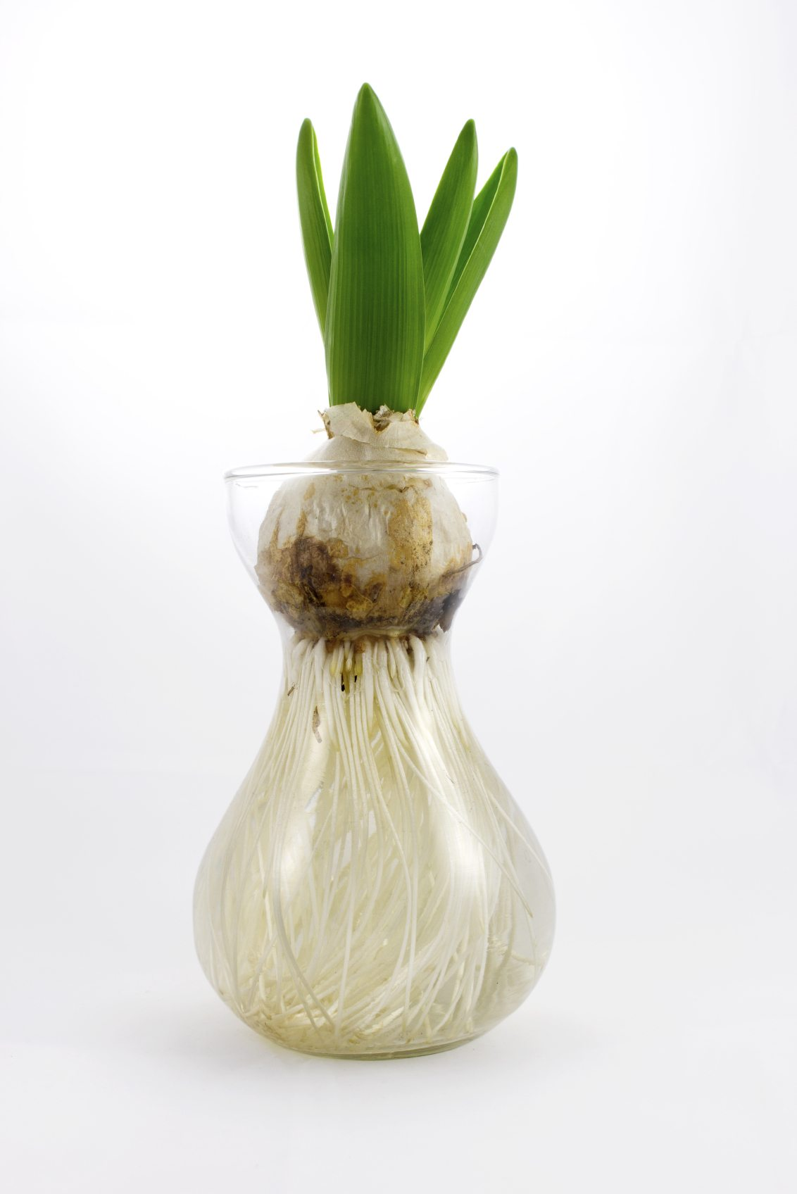 Can Tulips Grow In Water Tips On Growing Tulips Without Soil