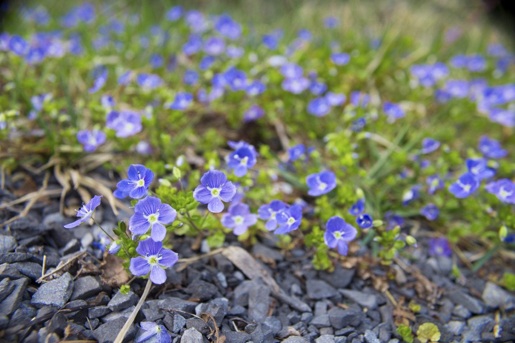 types of walkable plants