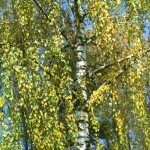 weeping silver birch