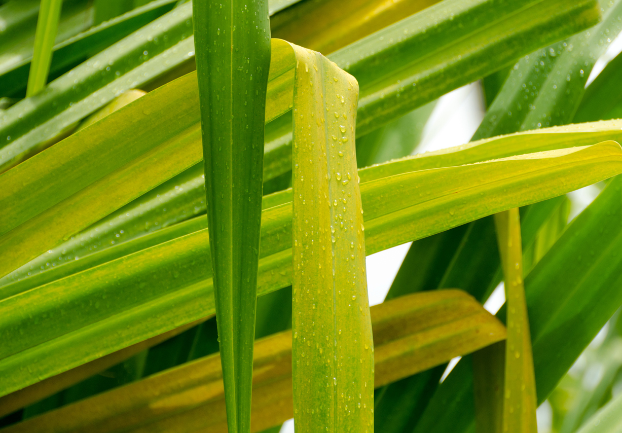 Yucca Plant Yellowing Why Are Yucca Plant Leaves Turning Yellow Yellowing marijuana leaves can indicate a variety of common ailments. yucca plant yellowing why are yucca plant leaves turning yellow