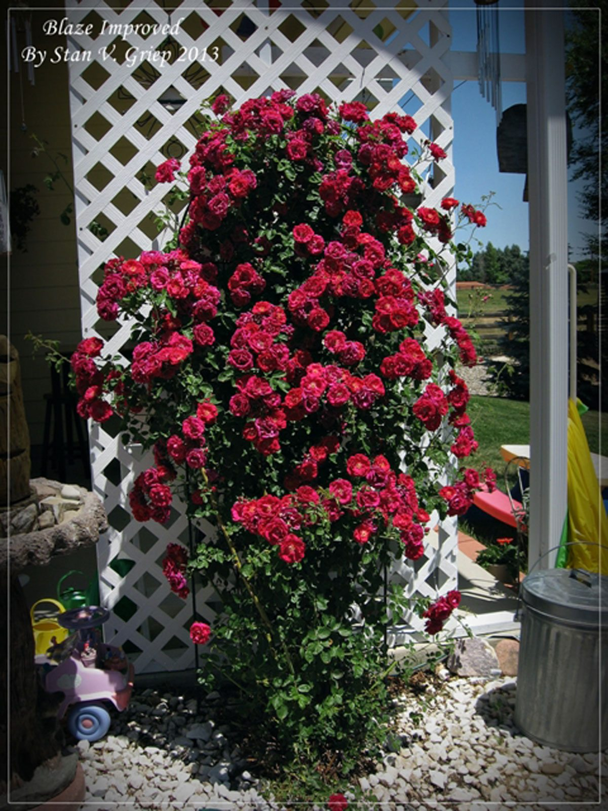 Training roses on structures how to train a climbing rose bush - Climbing rose trellis ...