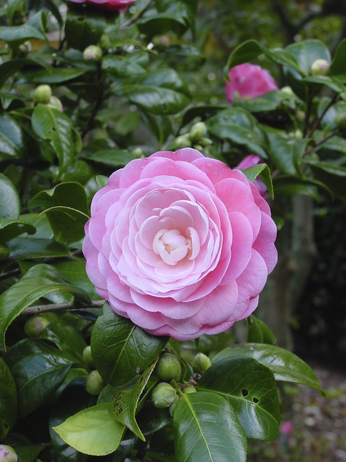 Providing Tree And Plant Care: How To Care For A Camellia Plant