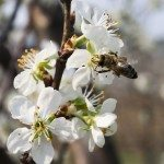 cherry tree pollination