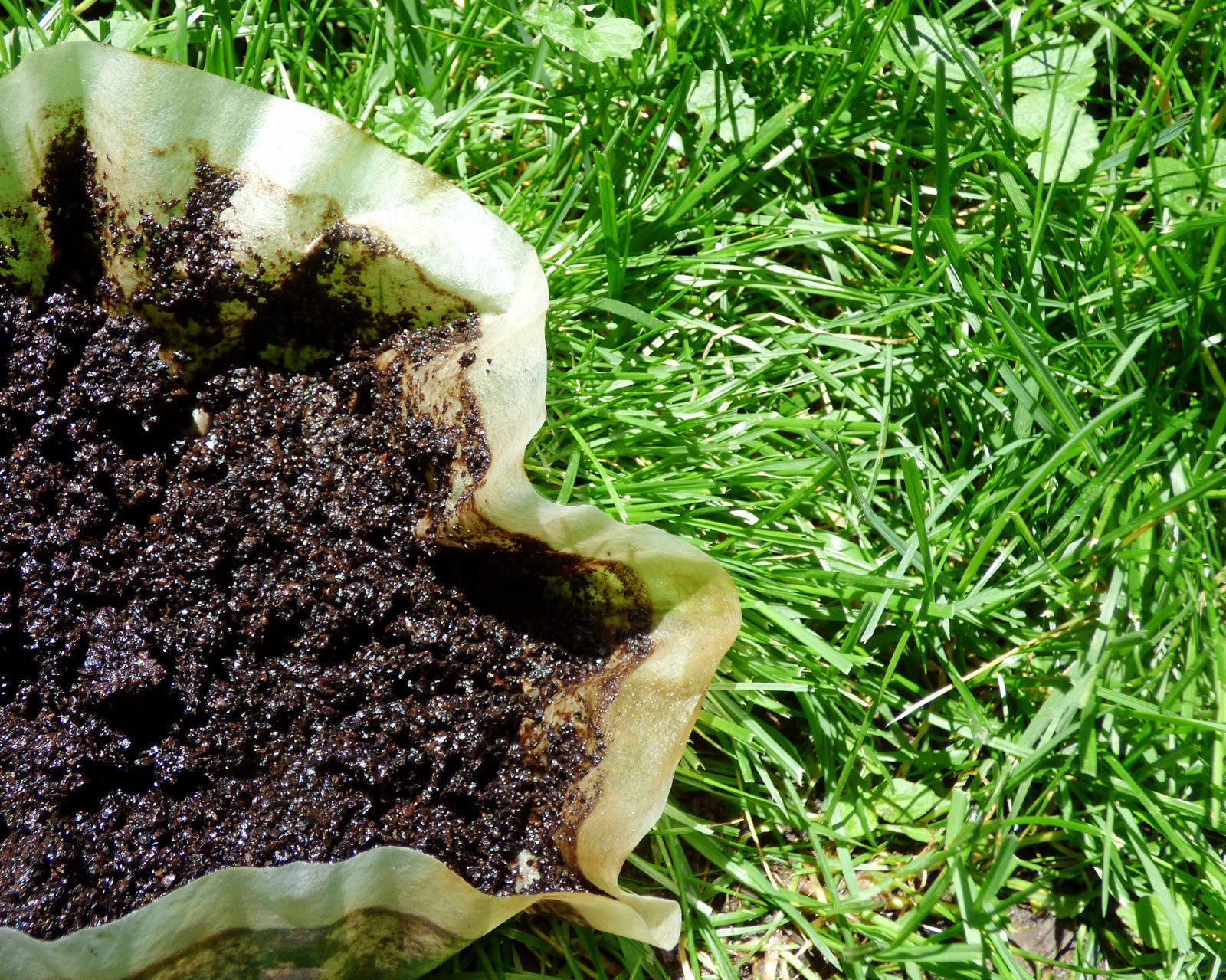 Are coffee grounds good for lawns tips on using coffee grounds on grass for How to use coffee grounds in garden