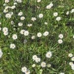 Bellis Perennis flowers aka Common Daisy or Lawn daisy or English daisy flower
