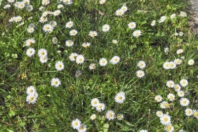 Pretty weeds for the lawn information on growing a lawn of flowers wildflower lawns tips on growing flowering lawns mightylinksfo