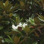 Magnolia green leaves with hite flower