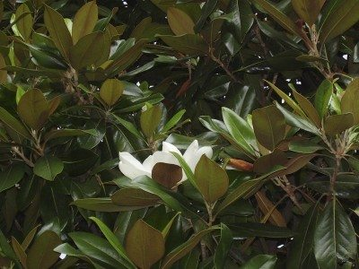 Diffe Varieties Of Magnolia Which Magnolias Are Deciduous