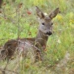 a wild female roe deer looking alert as she rests in the grass