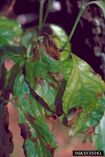 Controlling Dogwood Blight Learn About Dogwood Tree Blight And