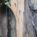 eucalyptus peeling