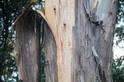 Eucalyptus tree bark – learn about peeling bark on a eucalyptus