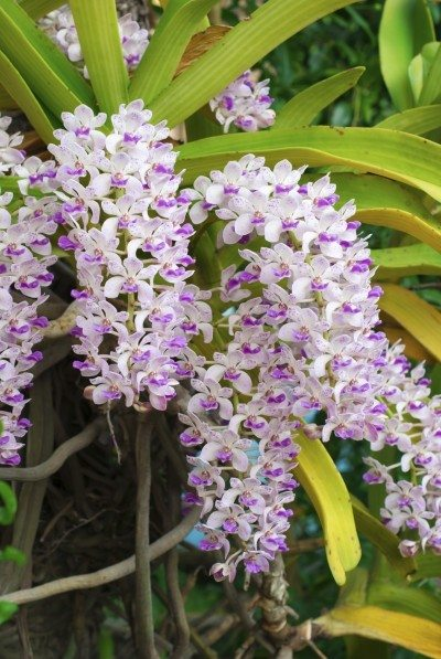 the species orchid (Rhynchostylis) of thailand,tropical flower