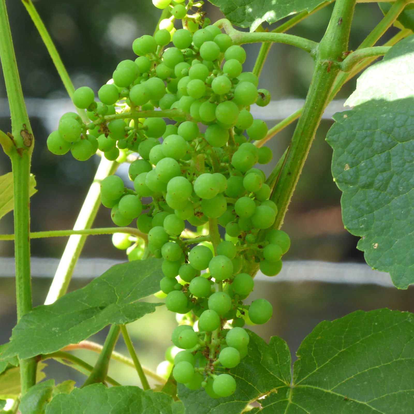 Grapes Spring care: pruning, fertilizing, pest treatment 29