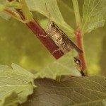 grasshopper on dahlia