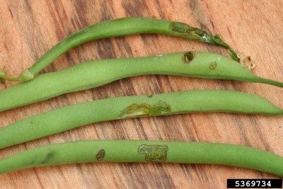 Organic beetle control: how to keep beetles from green beans naturally