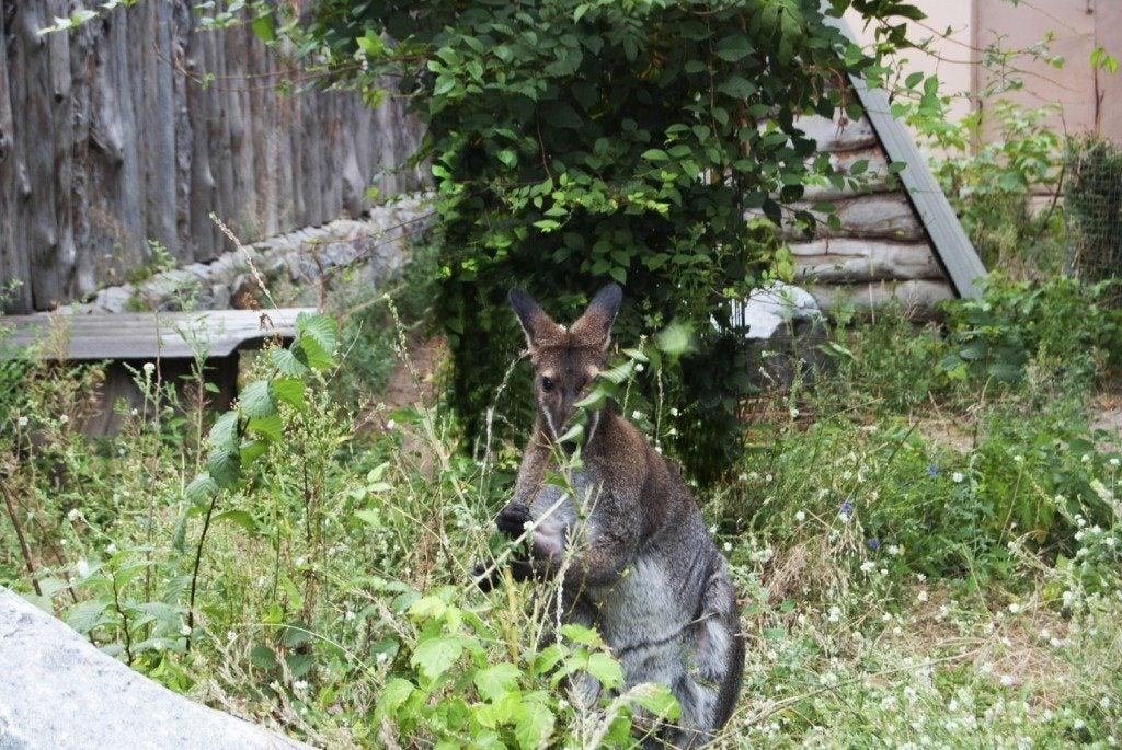 Macropus- cute animal eating grass