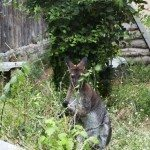 Macropus- cute animal eating grass