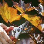 maple pruning