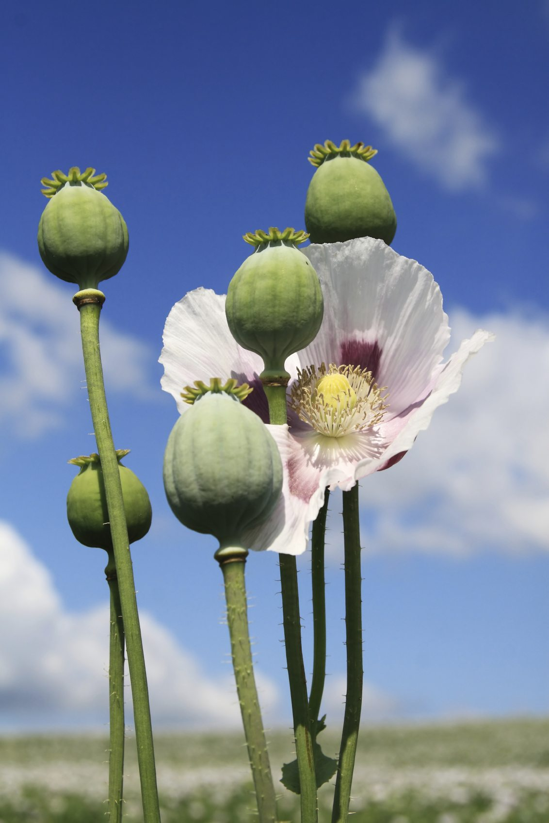 Opium Poppy Information Learn About Opium Poppy Flowers